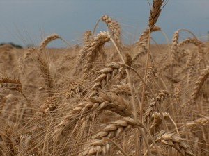 a-field-of-wheat-1574639